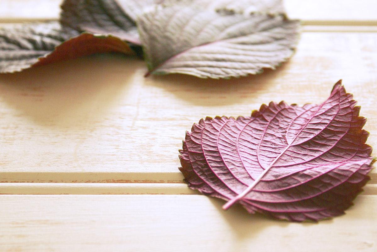 収穫した紫蘇