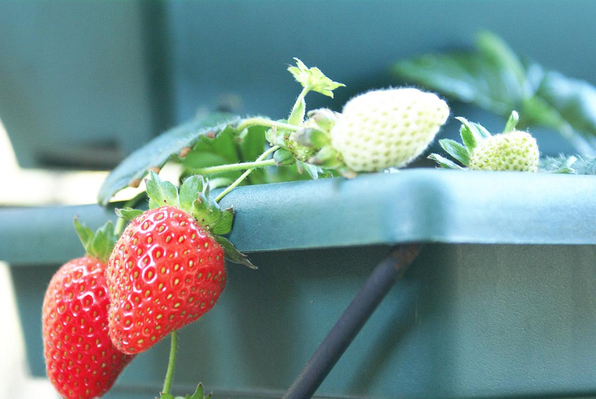 家庭菜園のいちご