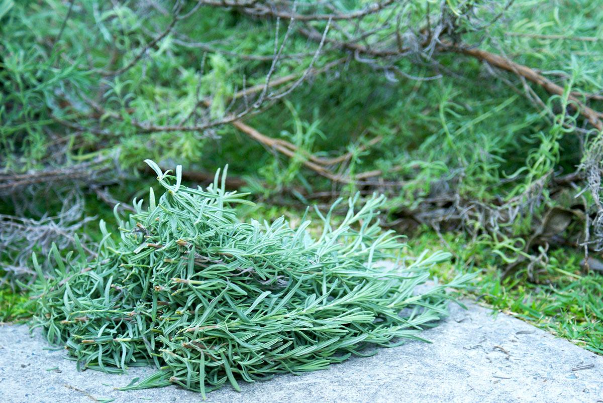 ラベンダーの挿し木方法