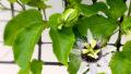 パッションフルーツを育てる – たくさん収穫できるかな? –