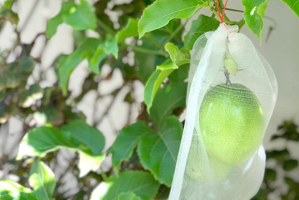 パッションフルーツを育てる