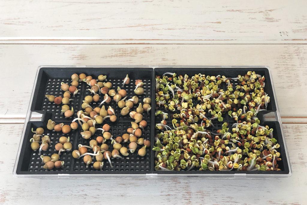 豆苗とカイワレ大根を育てる