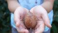 【キッチン菜園】アボカドの種、捨てる? 水耕栽培? 土に植える?