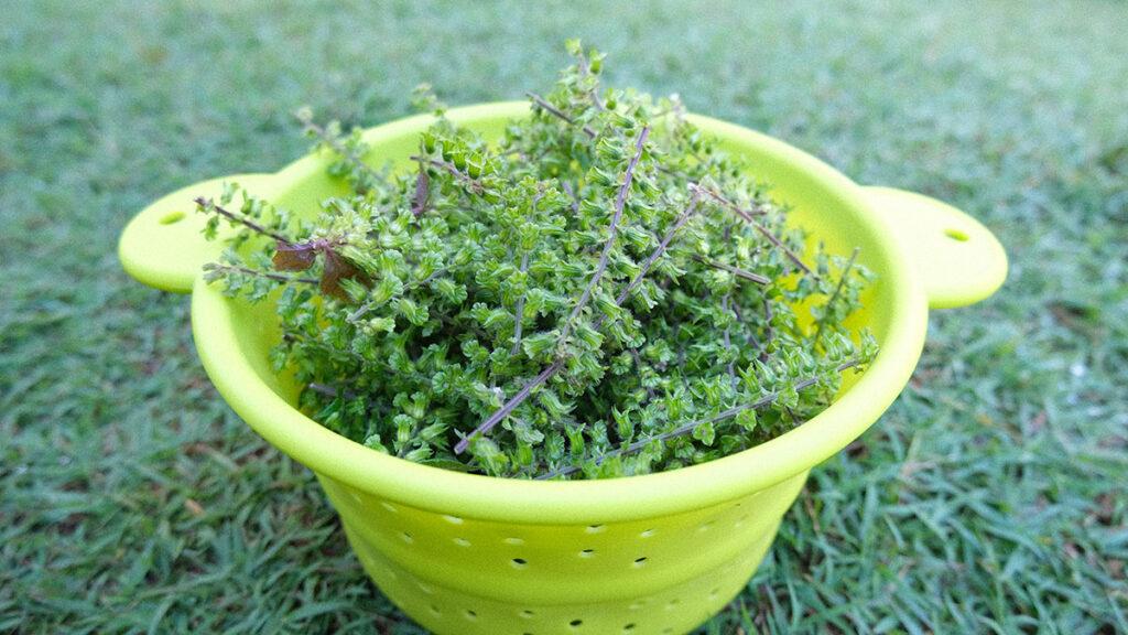 穂紫蘇の収穫