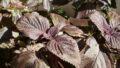 【簡単レシピ】ゆかり風赤紫蘇ふりかけ – 手間をかけない作り方 –