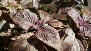 紫蘇の収穫からゆかり風ふりかけ作り